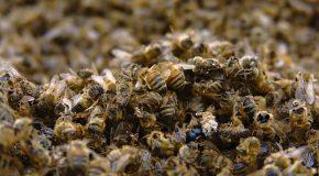 Interdiction des néonicotinoides tueurs d'abeilles